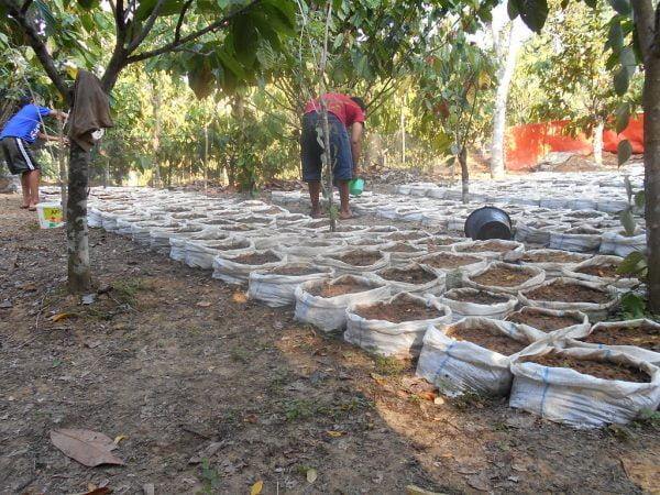 World Agroforestry Centre is planting ginger