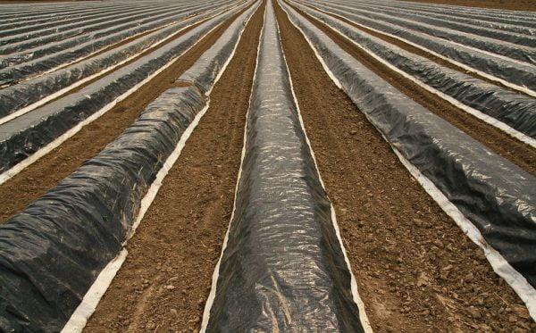 covering asparagus plants