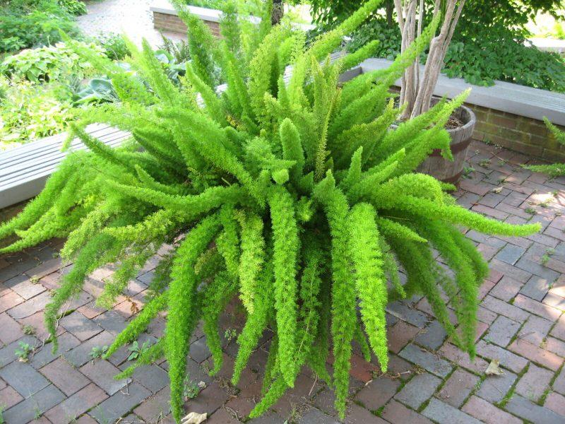 Asparagus Fern Care
