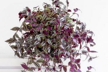 Wandering Jew Plant Care