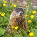 How to Get Rid of Groundhogs