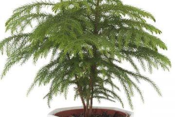 norfolk pine care